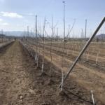 りんご苗の定植