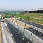 野菜苗定植