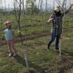りんごの花摘み体験