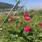 中野市の花「シャクヤク」