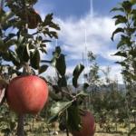 りんごのふじ