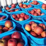 間もなくサンふじりんごの出荷開始です
